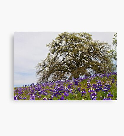 Lupines and Oak Canvas Print