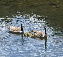 canadian geese family 3 by Maureen Zaharie