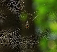 Garden Spider in web  by Kane Slater
