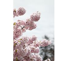 Cherry Blossom 2 Photographic Print