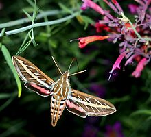 Hummingbird Moth by Amy McDaniel