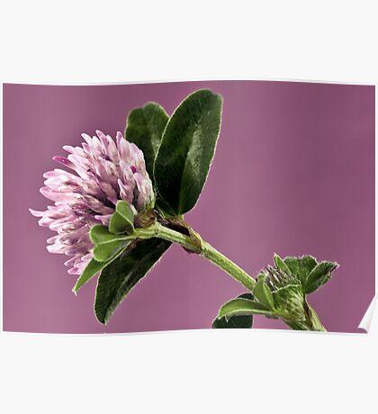 Wild Clover Blossom - Macro  Poster