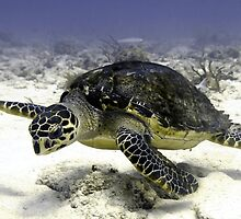 Caribbean Sea Turtle  by Amy McDaniel