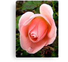 Governor General's rose - All products Canvas Print