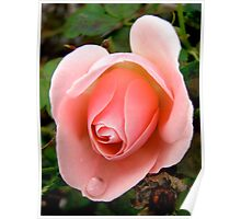 Governor General's rose - All products Poster