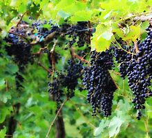 Saint Paul Vineyard by Darlene Lankford Honeycutt