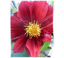 red flower blossom Poster