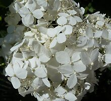 white hydrangeas by Maureen Zaharie