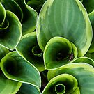 Hosta Rising by martinilogic