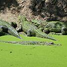 Gator Gathering by Bob Hardy