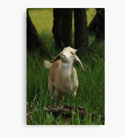 Adorable young goat looks up. Canvas Print