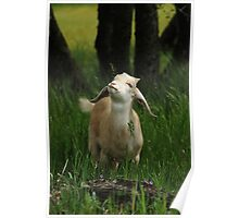 Adorable young goat looks up. Poster