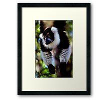 Back & White Ruffed Lemur Just Hanging Around, Madagascar  Framed Print