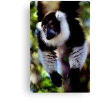 Back & White Ruffed Lemur Just Hanging Around, Madagascar  Canvas Print