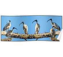 Ibis Bird Puzzle Poster