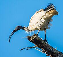 Australian White Ibis by Graeme Bayley