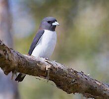 Woodswallow by byronbackyard