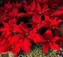 Happy Scarlet Poinsettias Christmas Star by Georgia Mizuleva