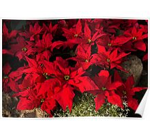 Happy Scarlet Poinsettias Christmas Star Poster