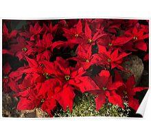 Happy Scarlet Poinsettias Christmas Star Poster