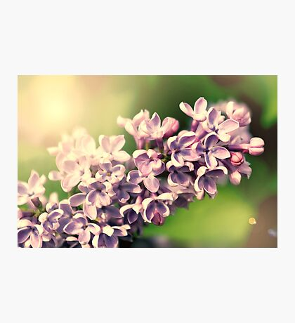 Flowers background. Pink lilac flowers Photographic Print