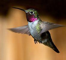 Broad-tailed Hummingbird by Eivor Kuchta