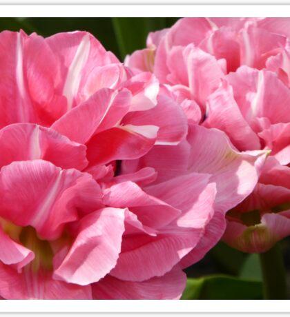 Pale Pink Tulips Sticker