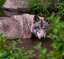 Timber Wolf In Pond by WolvesOnly