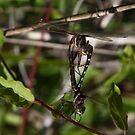 Dragonfly by DHParsons
