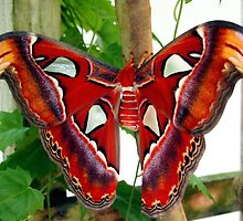 Red Giant Prometheus Moth by Amy McDaniel