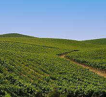 Vineyards by randymir