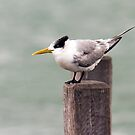 Crested Tern by mncphotography