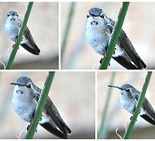 COLLAGE OF A VIOLET HEADED HUMMER by JAYMILO
