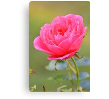 Macro photo of a pink rose in an English garden Canvas Print