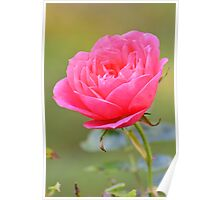 Macro photo of a pink rose in an English garden Poster