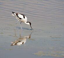 Recurvirostra avosetta by Mythos57