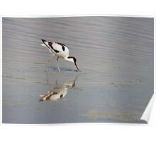 Recurvirostra avosetta Poster