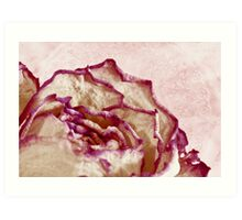 Dried Single Pink Fringed Rose - Macro  Art Print