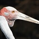 Brolga Portrait by Carole-Anne