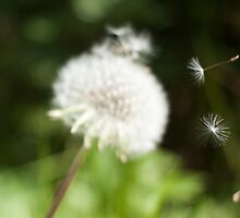Photo of Dandelion Seeds Blowing Away by griffingphoto