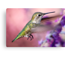Hummingbird on the pink Canvas Print