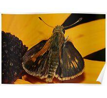 Fiery Skipper on Black-eyed Susan  Poster