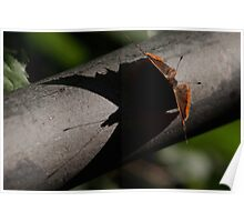 Red Admiral  shadow  Poster