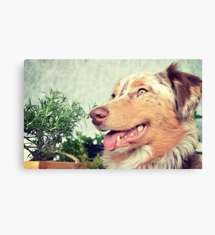 AS red merle Canvas Print