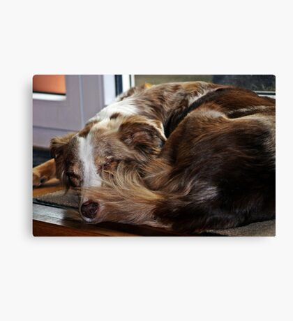 AS red merle sleeping second Canvas Print