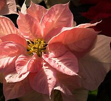 Sunny Pink Poinsettia - Vivacious Christmas Greetings by Georgia Mizuleva