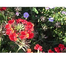 LYCHNIS - VIEW LARGE Photographic Print