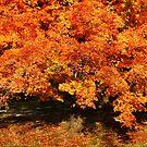 Maple In Autumn by Ginger  Barritt