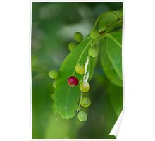 berries in the forest Poster