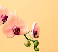 Orchid by whitebeardcz